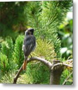 Black Redstart Metal Print