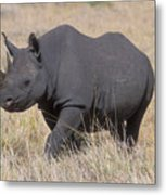 Black Rhino On The Masai Mara Metal Print