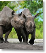 Black Rhinoceroses Metal Print