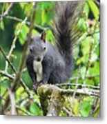 Black Squirrel In The Cherry Tree Metal Print
