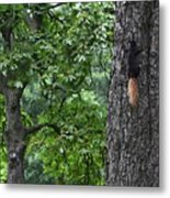 Black Squirrel With Blond Tail  Metal Print