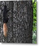 Black Squirrel With Blond Tail Two  Metal Print