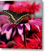 Black Swallowtail Butterfly On Coneflower Square Metal Print