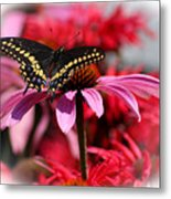 Black Swallowtail Butterfly With Coneflower And Monarda Metal Print