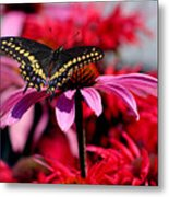 Black Swallowtail Butterfly With Coneflowers And Bee Balm Metal Print