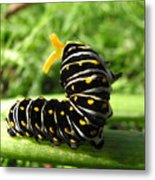 Black Swallowtail Caterpillar Metal Print