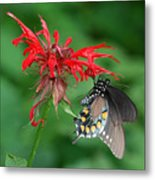 Black Swallowtail On Bee Balm Metal Print