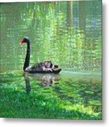 Black Swan Swim In A Pond Metal Print