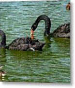 Black Swans Metal Print