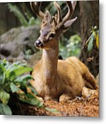 Black-tailed Deer Metal Print