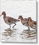 Black-tailed Godwits Metal Print