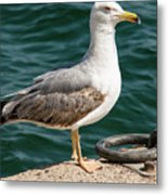 Black Tailed Gull On Dock Metal Print