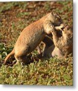 Black-tailed Prairie Dogs Wrestling Around Metal Print