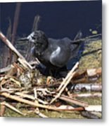 Black Tern On Nest Metal Print