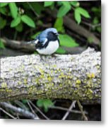 Black-throated Blue Warbler Metal Print