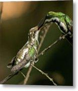 Black-throated Mango With Her Baby Hummingbird. Metal Print