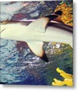 Black Tipped Reef Shark Metal Print
