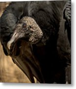 Black Vulture 2 Metal Print