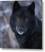 Black Wolf Portrait Metal Print