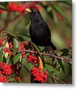 Blackbird Red Berries Metal Print