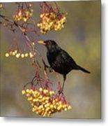 Blackbird Yellow Berries Metal Print