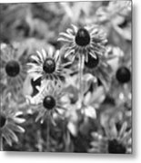 Blackeyed Susans In Black And White Metal Print