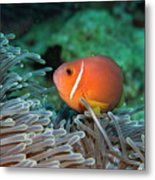 Blackfoot Anemonefish Hosted In A Magnificent Sea Anemone Metal Print