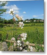Bladder Campion On Stone Wall Metal Print