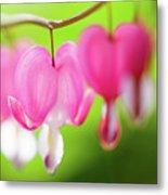 Bleeding Heart Flower Metal Print