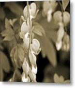 Bleeding Hearts In Sepia Metal Print