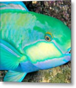 Bleekers Parrot Fish Metal Print