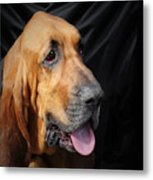 Bloodhound - Governed By A World Of Scents Metal Print by Christine Till