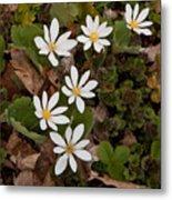 Bloodroot Wildflowers #1203 Metal Print