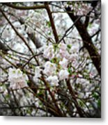 Blooming Apple Blossoms Metal Print