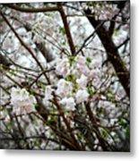 Blooming Apple Blossoms Metal Print by Eva Thomas