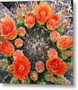 Blooming Barrel Cactus Metal Print