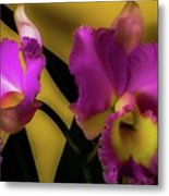 Blooming Cattleya Orchids Metal Print