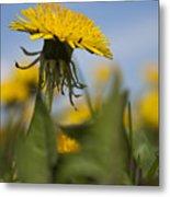 Blooming Dandelion Flower Metal Print