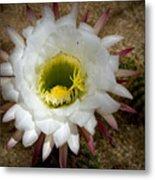 Blooming Hedgehog Cactus Metal Print