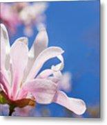 Blooming Magnolia Flower Metal Print