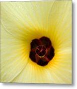 Blooming Okra Flower Metal Print