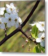 Blooming Pear Tree Metal Print