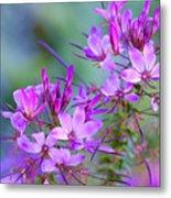 Blooming Phlox Metal Print