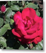 Blooming Rose With New Rose In Garden Metal Print