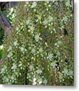 Blooming Succulent Plant. Big And Beautiful Metal Print