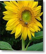 Blooming Sunflower Closeup Metal Print