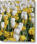 Blooming Tulips As Far As The Eye Can See Metal Print