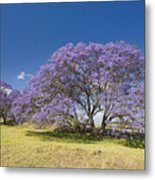 Blossoming Jacaranda Metal Print