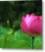 Blossoming Lotus Flower Closeuop Metal Print