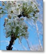 Blossoming Pear Metal Print